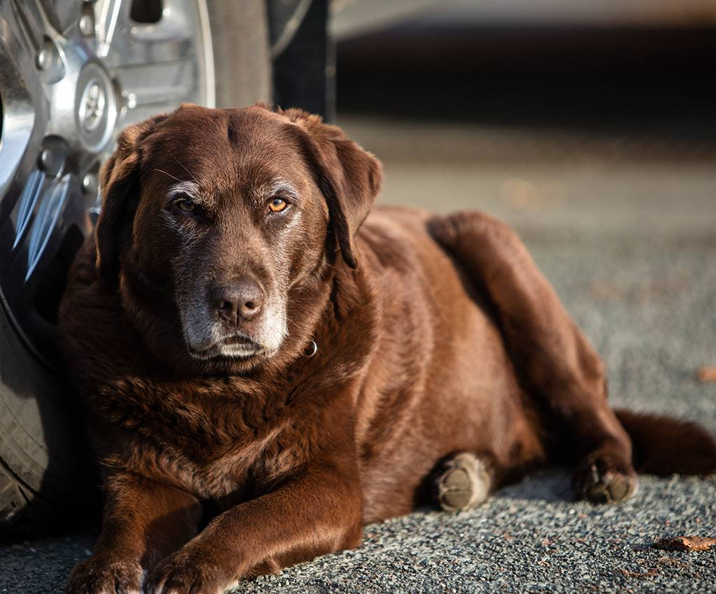 A brown dog lays down on a driveway