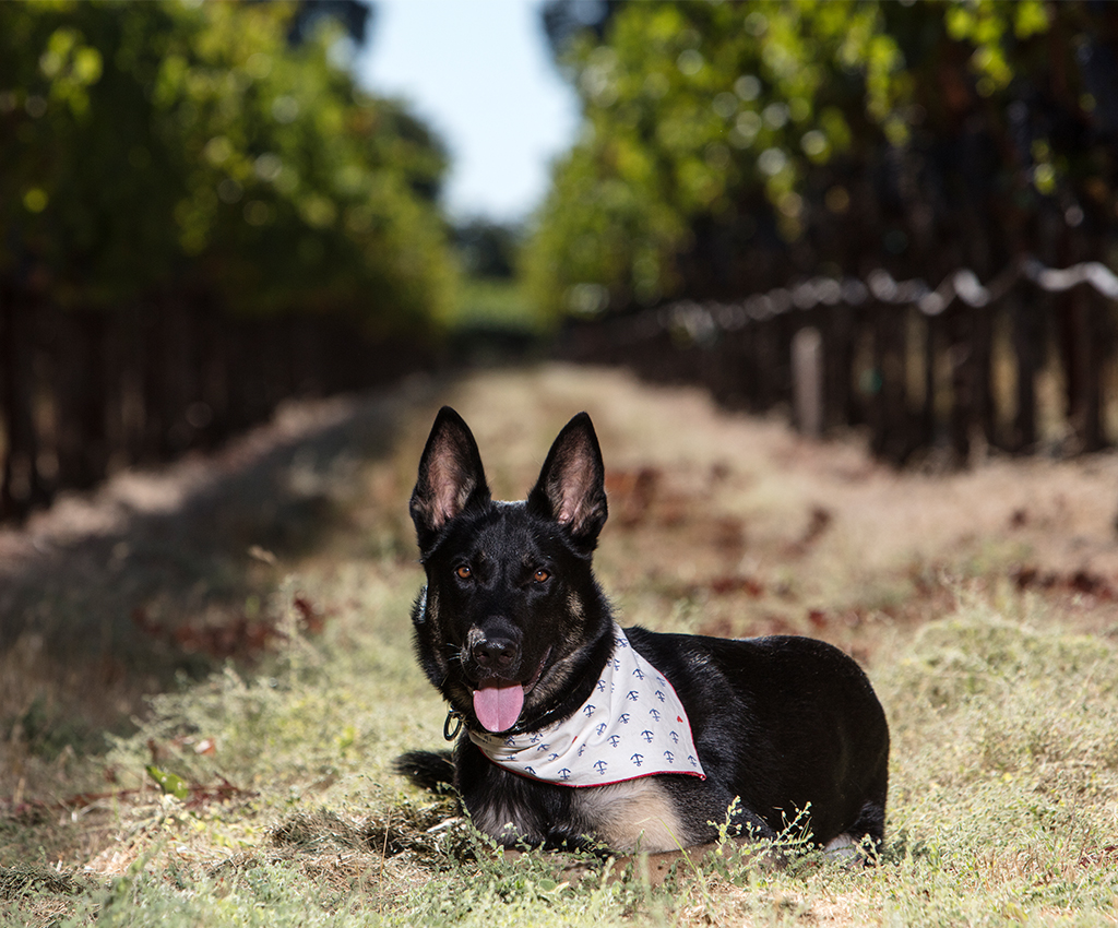 Magnum lays between rows of grapes with a handkerchief around his neck