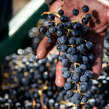 A hand holding wine grapes