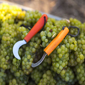 Freshly picked green grapes with some vineyard tools