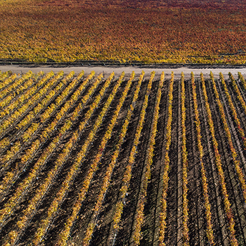 An arial view of rows of grape vines at the Benjamin Vineyard
