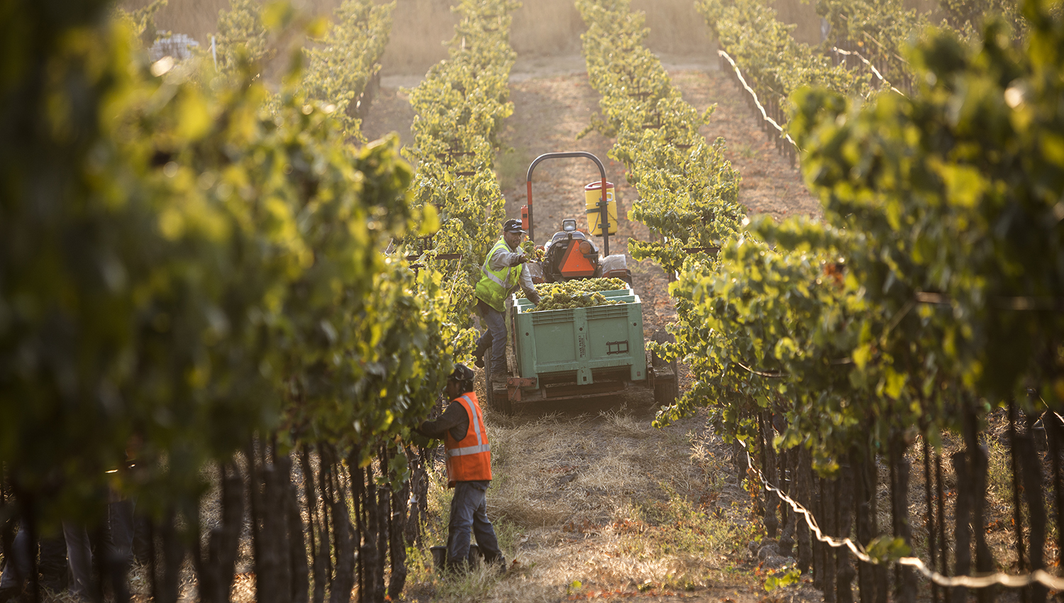 Workers at the Lewis Vineyard between grape vines